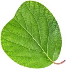Kiwis leaf